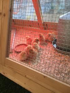 Hühner PZF 2